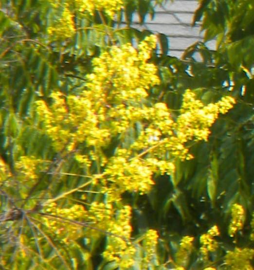 Koelreuteria bipinnata Ch fl tree flowers