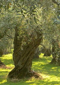 Olive_tree W