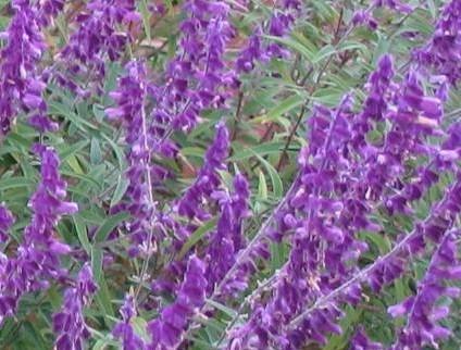 Salvia leucantha Mx Bush Sage