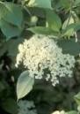 Viburnum lentago Nannyberry