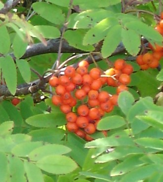 Ash Mountain Sorbus_aucuparia_aka_rowan