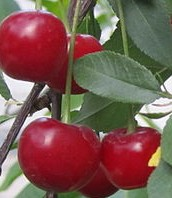 Cherry sour Prunus cerasus