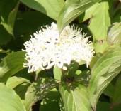 White Cornus (Cornus alba) Hedge .