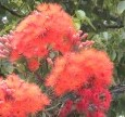 Eucalyptus filicifolia 2