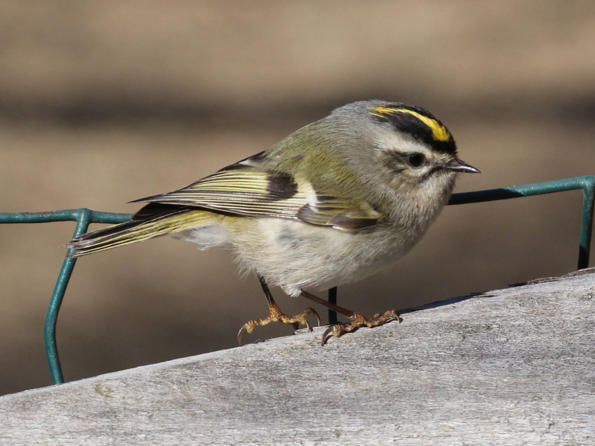 Golden-crowned_Kinglet_
