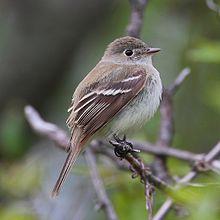 Least flycatcher Empidonax-minimus- Wikipedia