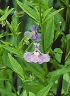 Mimulus ringens Monkey flower plant