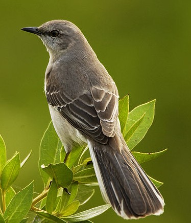 Mockingbird Mimus_polyglottos Wikipedia