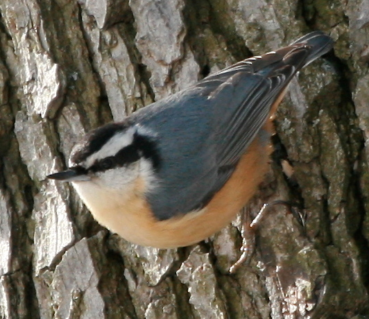 Red-breasted Nuthatch Habits
