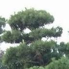 Podocarpus_macrophyllus
