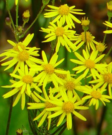 Ragwort golden Packera_aurea_fl
