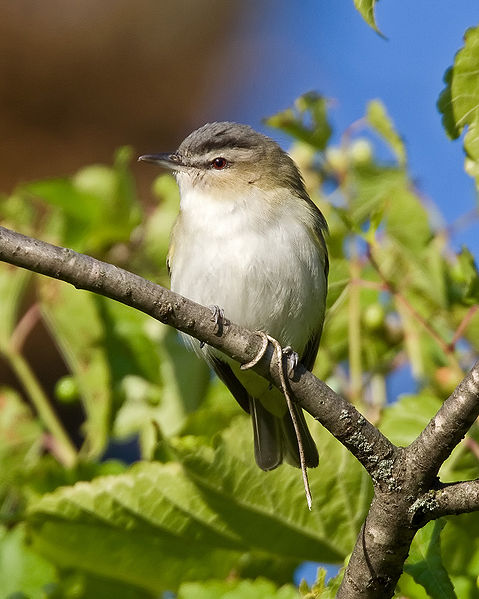 Vireo_olivaceus_Red eyed Wikimedia commons