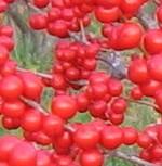 Winterberry redsprite