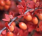 berberis-thunbergii berries