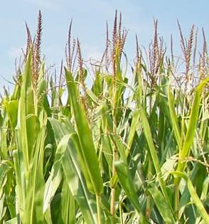 corn sweet