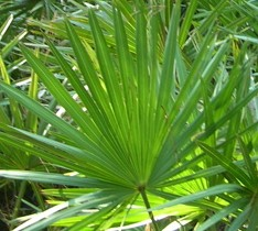 saw_palmetto_tree