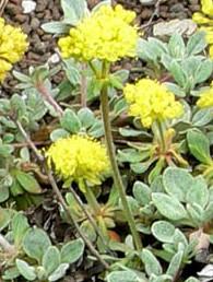 Eriogonum_umbellatum_humistratum sulfur flower