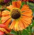 Helenium-Coppelia-Sanguisorba IDEA