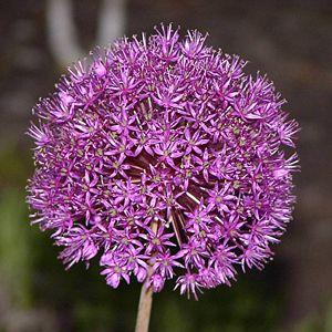 Allium christopii