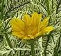 Heliopsis Loraine Sunshine