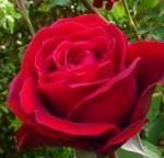 ROSE DON JUAN