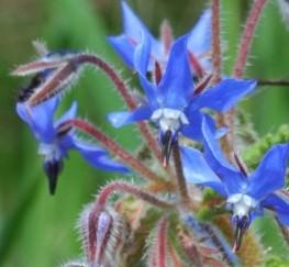 borago-officinalis 3