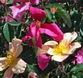 rose Mutabilis 2