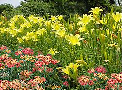 yarrow&daylilies