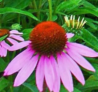 Echinacea_purpurea_
