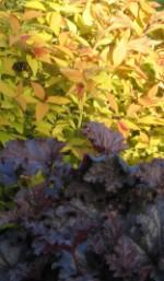 Heuchers purple spirea bumalda Goldflame