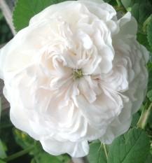 Rose Madam Hardy