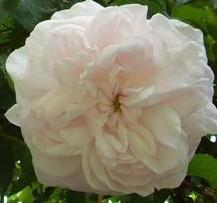 Rose Mme PLANTIER