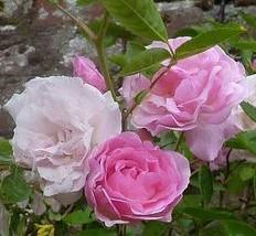 Rose Tausendschon