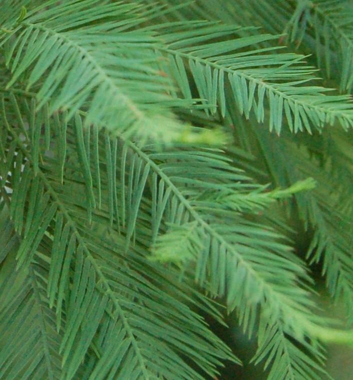 Cypress bald lvs