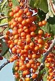 Idesia berries