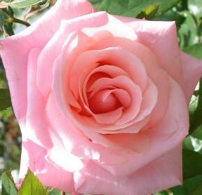 Rose high-hopes