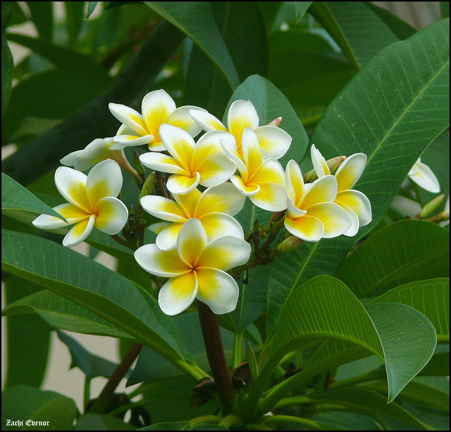 Plumeria rubra (for Naomi)
