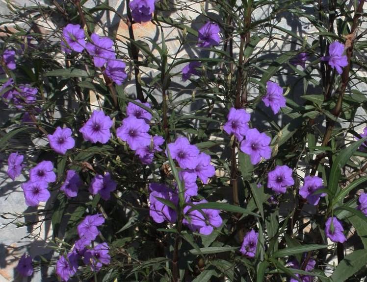 Ruellia brittoniana Mx petunia 2