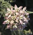 Sarcostemma hirtellum trailing milkweed