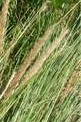 ammophila arenaria fl  European beach grass