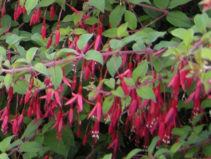fuchsia-magellanica