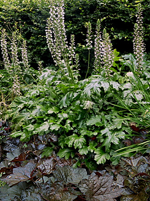 Bear's Breeches and Coral Bells plant combination