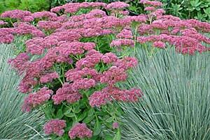 Blue Oat Grass and Sedum 'Autumn Joy' plant combination