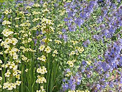Catmint 'Walker's Low' and Sisyrinchium striatum combination