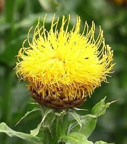 Centaurea macrocephala 2