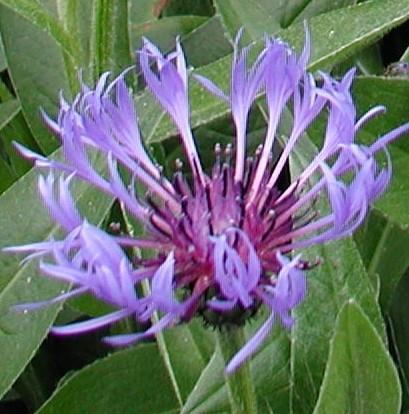Centaurea-montana