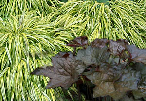 Coral bells 'Palace Purple' & Variegated Hakone Grass combination