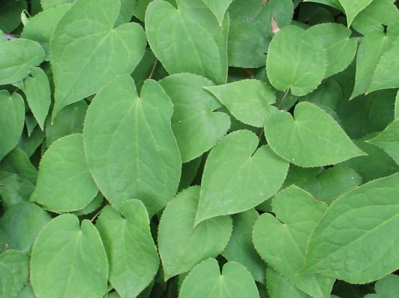 Epimedium alpinum Rubrum