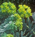 Euphorbia myrsinites in bloom