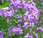 Hesperis_matronalis Purple